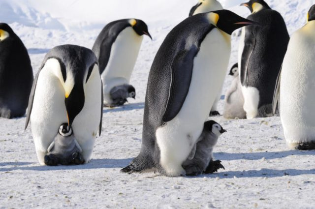 Penguins are Spying By Scientist With These Obvious Cameras